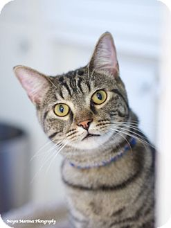 Domestic Shorthair Cat for adoption in Knoxville, Tennessee - Bronson