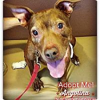 Adopt A Pet :: Angolina - Queen Creek, AZ