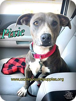 Dachshund/American Pit Bull Terrier Mix Dog for adoption in Concord, California - Pixie