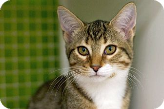 Domestic Shorthair Kitten for adoption in Troy, Michigan - Bailey