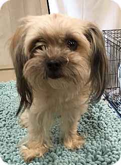 Shih Tzu Mix Dog for adoption in Santa Ana, California - Gigi (Toy)
