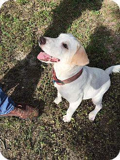 Labrador Retriever Mix Dog for adoption in San Antonio, Texas - Annie