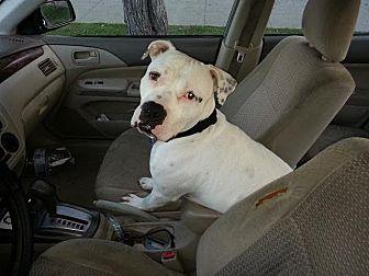 American Bulldog Mix Dog for adoption in Beverly Hills, California - Spot American Bulldog in Need