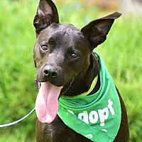 American Staffordshire Terrier/Boston Terrier Mix Dog for adoption in Dana Point, California - Pearl