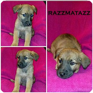 German Shepherd Dog Mix Puppy for adoption in Akron, Ohio - Crayola Litter - Razzmatazz