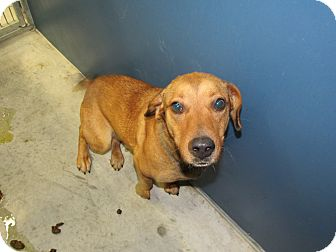 Labrador Retriever Mix Dog for adoption in Henderson, North Carolina - Minnie (HW Neg)