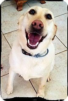 Labrador Retriever Mix Dog for adoption in Austin, Texas - Bella