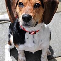 Beagle/Harrier Mix Dog for adoption in Atlanta, Georgia - Milton