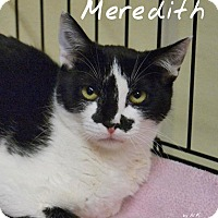 Domestic Shorthair Kitten for adoption in Barrington, New Jersey - Meredith