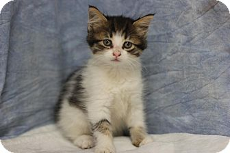 Domestic Mediumhair Kitten for adoption in Midland, Michigan - Tastee