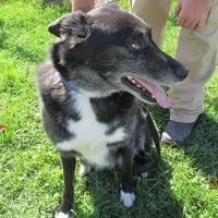 Australian Shepherd Mix Dog for adoption in Rock Hill, New York - Speck