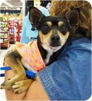 Miniature Pinscher Mix Dog for adoption in Sugar Land, Texas - Ricky