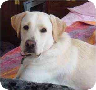 Labrador Retriever/Great Dane Mix Dog for adoption in Pittsboro/Durham, North Carolina - Earl the Pearl