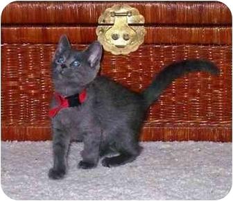 Domestic Shorthair Kitten for adoption in Irvine, California - Smokey