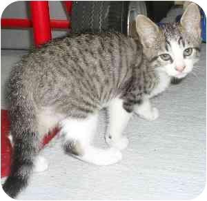 Domestic Shorthair Kitten for adoption in Jacksonville, Florida - Kaylin