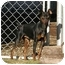 Photo 2 - Manchester Terrier Dog for adoption in Meridian, Idaho - Phillip