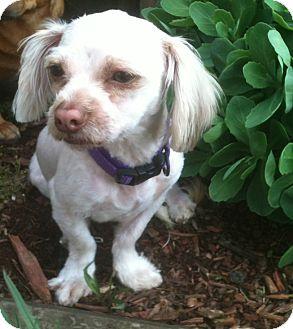 Lhasa Apso/Poodle (Miniature) Mix Dog for adoption in Cleveland, Ohio - Huey