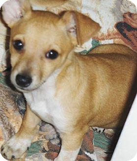 Chihuahua/Dachshund Mix Puppy for adoption in Chandler, Arizona - Sahuaro