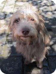 Silky Terrier Mix Dog for adoption in Salem, Oregon - Calvin