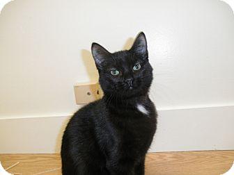 Domestic Shorthair Kitten for adoption in Milwaukee, Wisconsin - Neela