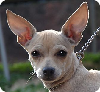 Chihuahua Mix Puppy for adoption in Plainfield, Connecticut - Joey