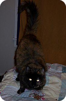 Domestic Longhair Cat for adoption in Roslyn, Washington - Kiki