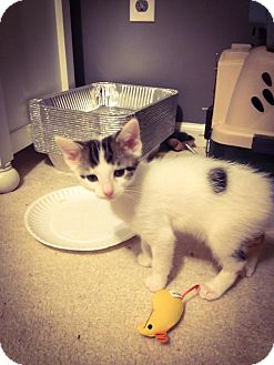 American Shorthair Kitten for adoption in Crown Point, Indiana - Twizzler(adoption pending)