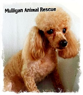 Poodle (Toy or Tea Cup) Mix Dog for adoption in Mount Royal, New Jersey - ZIGGY (adoption pending)