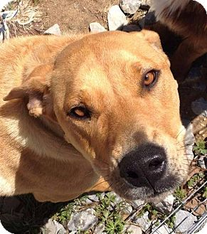 Rhodesian Ridgeback/Labrador Retriever Mix Dog for adoption in Rochester, New York - Bailey