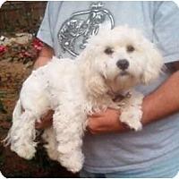 Adopt A Pet :: Snowflake - Duluth, GA