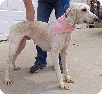 Labradoodle Mix Dog for adoption in Oak Brook, Illinois - Jesse