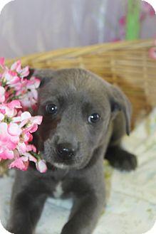 Labrador Retriever/Great Dane Mix Puppy for adoption in Waldorf, Maryland - Virgo