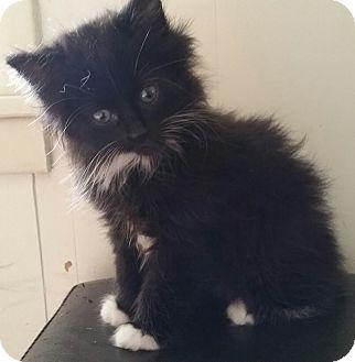 Domestic Longhair Kitten for adoption in Wayzata, Minnesota - Piper