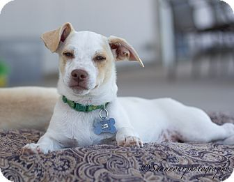 Dachshund/Terrier (Unknown Type, Small) Mix Puppy for adoption in Vacaville, California - Triscuit