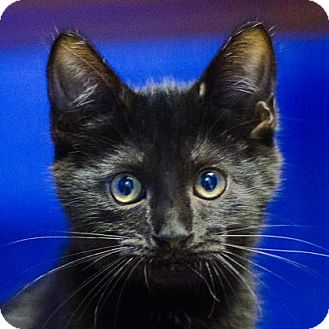 Domestic Shorthair Kitten for adoption in Adrian, Michigan - Cole