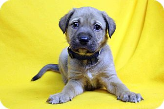 German Shepherd Dog Mix Puppy for adoption in Westminster, Colorado - Hank