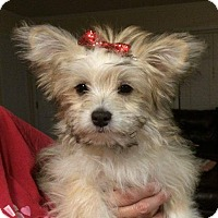 Adopt A Pet :: LACEY - Raleigh, NC