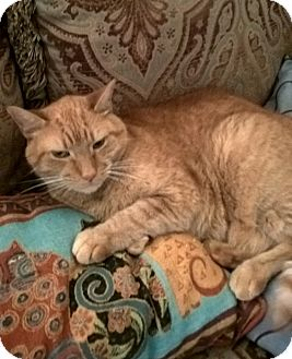 Domestic Shorthair Cat for adoption in Jackson, New Jersey - Casey