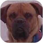 Bullmastiff Puppy for adoption in North Port, Florida - Jake