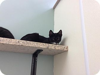 Domestic Shorthair Cat for adoption in Janesville, Wisconsin - Odie