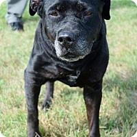 Adopt A Pet :: Star 32006155 *IN FOSTER* - Westampton, NJ