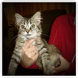 Maine Coon Kitten for adoption in Medford, Wisconsin - ANIKA