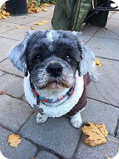 Shih Tzu Mix Dog for adoption in Phillipsburg, New Jersey - Reggie
