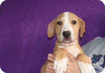 Labrador Retriever/Border Collie Mix Puppy for adoption in Oviedo, Florida - Zepher
