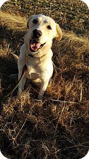 Labrador Retriever/Australian Shepherd Mix Dog for adoption in Pulaski, Tennessee - Yeller Dawg