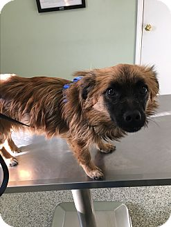 Pekingese Mix Dog for adoption in Staunton, Virginia - Mocha