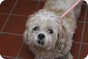 Shih Tzu Mix Dog for adoption in Daytona Beach, Florida - Paisley