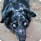 Adopt A Pet :: Bogle