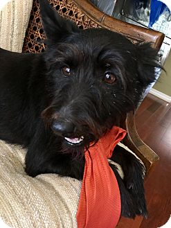 Schnauzer (Miniature)/Schipperke Mix Dog for adoption in Boerne, Texas - Hemingway