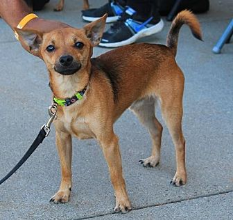 Chihuahua Dog for adoption in Chaska, Minnesota - Charlie